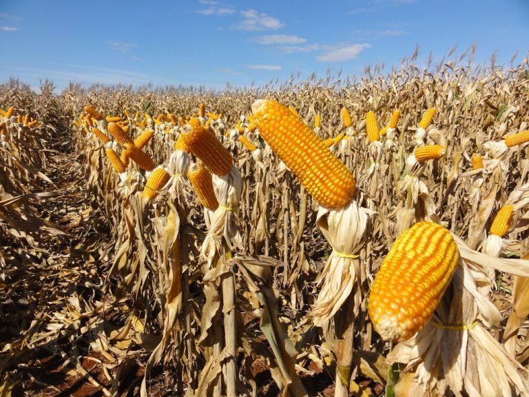 Rádio Regional do Centro: Chuva afecta produção de milho no Baixo-Mondego