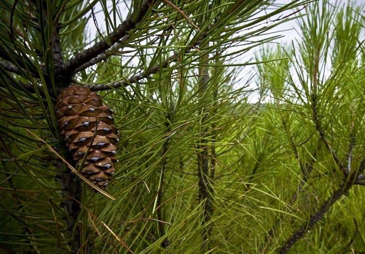Rádio Regional do Centro: Lousã distribui pinheiros de Natal