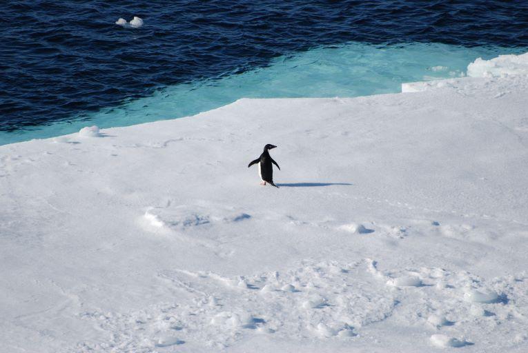 Rádio Regional do Centro: Estudo da UC revela a presença de microplásticos em pinguins da  Antártida há mais de 15 anos