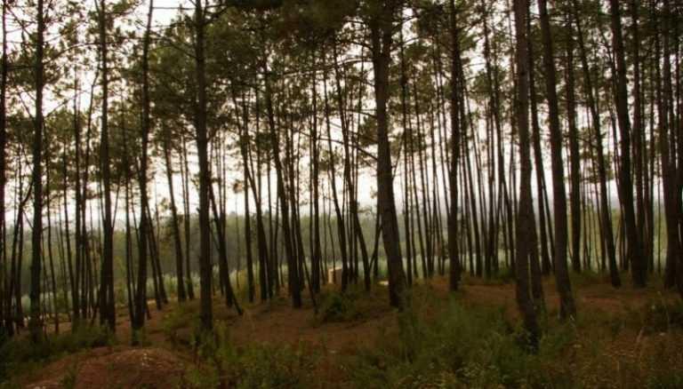 Rádio Regional do Centro: Município de Mira vai reflorestar 1.600 hectares de pinhal ardido em 2017